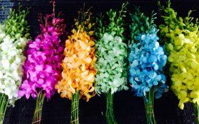 گل ارکیده تایلند